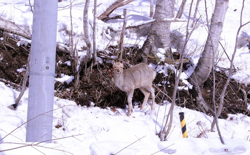 支笏湖の鹿